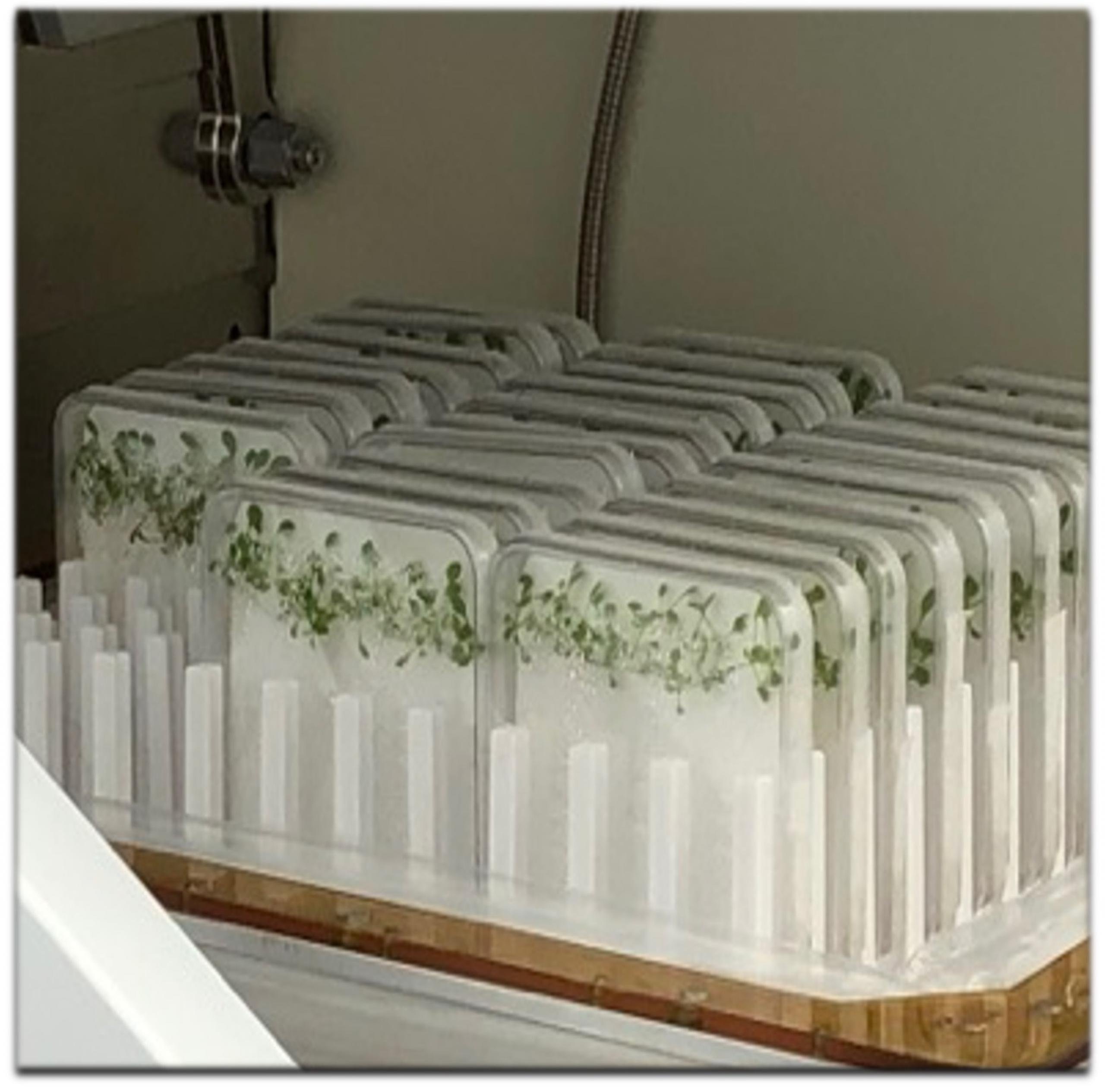 Photo of trays of seedlings