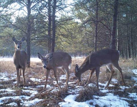 Three deer standing a lightly snowy field.