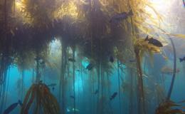 Underwater photograph of kelp seaweed and fish.
