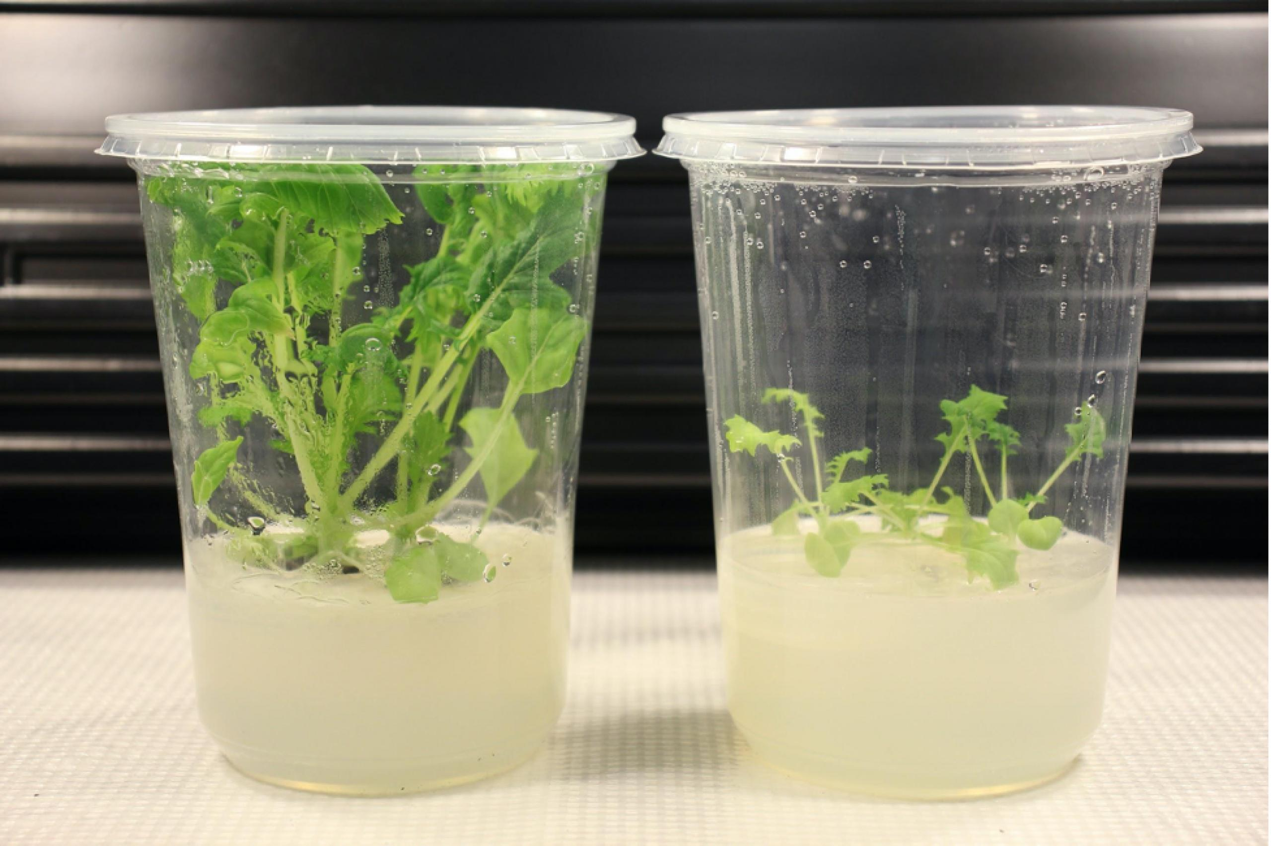 Two clear plastic cups. The left cup shows a thriving, bright green Mizuna seedling in a pale tan growing medium. The right cup shows a much smaller, paler green Mizuna seedling in a pale tan growing medium.