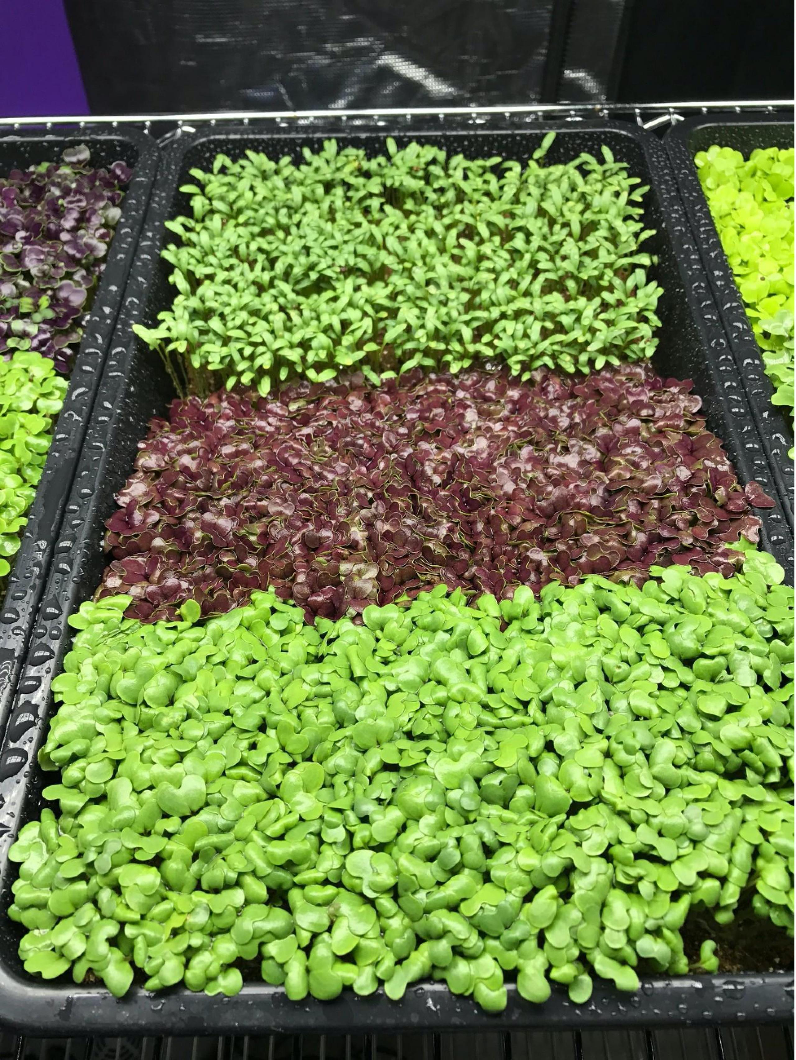 A broad, shallow growing tray with three kinds of plants, from near (lower part of image) to far (upper) part of image. Broad-leafed greens are nearest, red-leafed plants in the middle, with elongated-green leafed plants furthest.