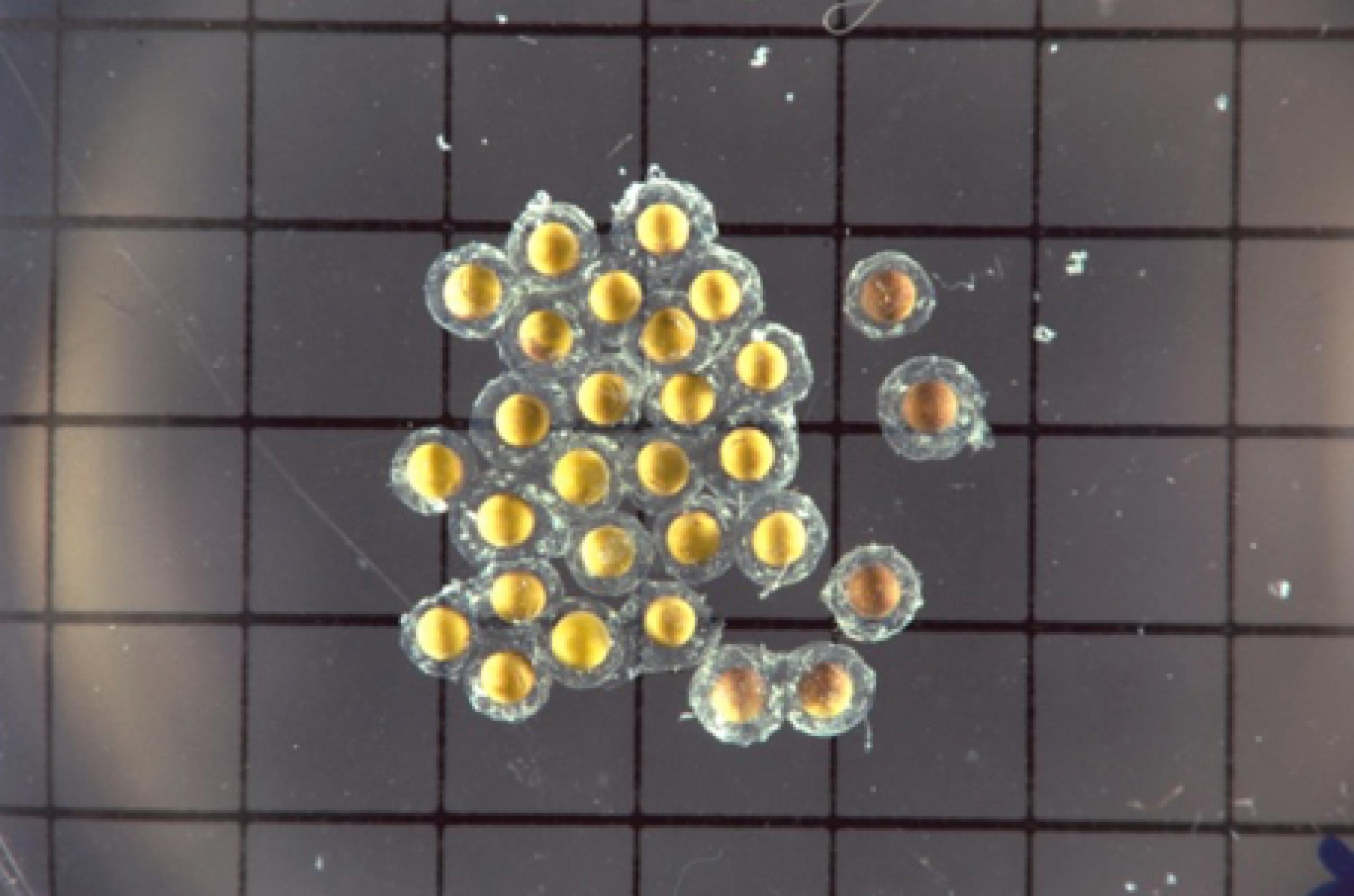 Cluster of yellow reproductive cells floating on a gray grid with black lines.