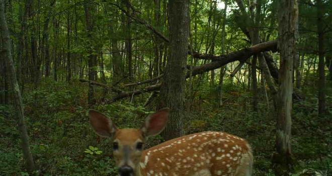Photo of spotted fawn in the woods