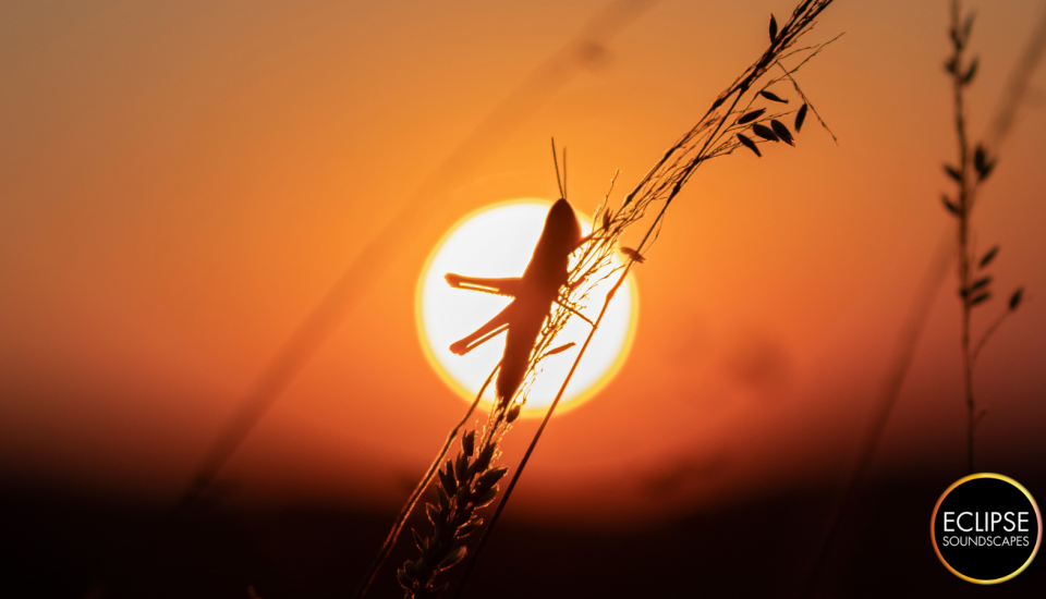A grasshopper clings to a blade of grass, silhouetted against the orange disk of the evening sun. Eclipse Soundscapes logo in the bottom right corner.