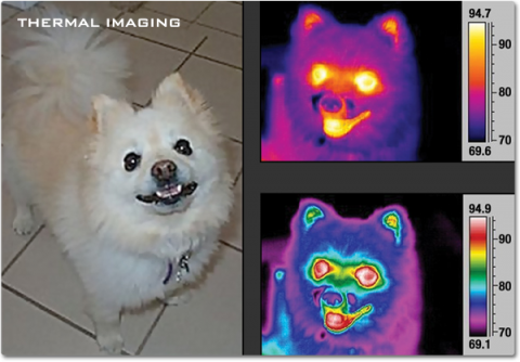 A true-color image of a small dog along with images of the same dog in thermal infrared. The color -coded infrared images reveal areas of higher temperature around the eyes and mouth, with cooler temperatures on the nose and snout.