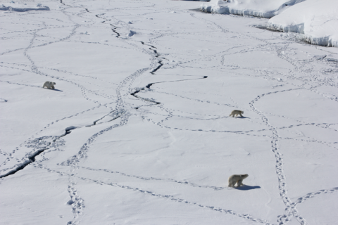 Photo of three polar bears making tracks in the snow