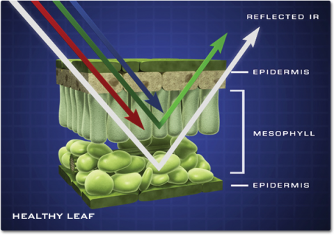 A cut-away illustration of the internal structure of a leaf. Shows indicating red, gree, blue, and infrared light energy interact with the leaf structure. The Red and Blue light is absorbed, green light is reflected by the top layer of the mesophyll and the infrared energy is reflected off the bottom layer.
