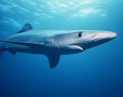 Photo of shark swimming under water