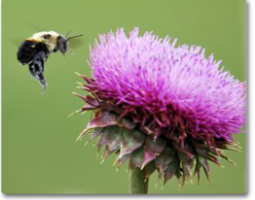 photo of a bee approaching a thistle