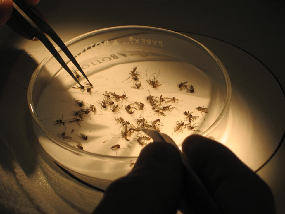Photo of petri dish with mosquitoes in it